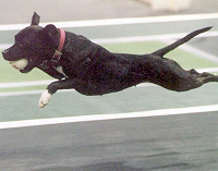 Jazz flying during flyball competition