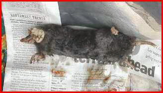 Photo of a dead mole.